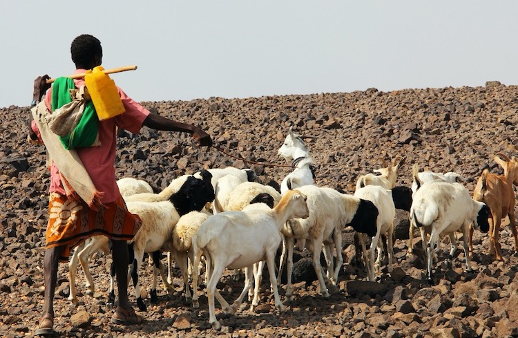 Photo: Pastoralist with herd, Horn of Africa. Credit: Katherine Bundra Roux, IFRC