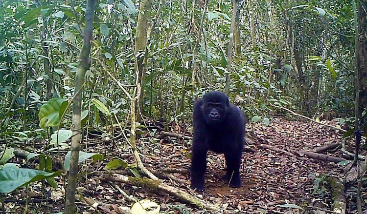 Photo: Gorilla in the Ebo Forest, located in Southwestern Cameroon. San-Diego Global Zoo