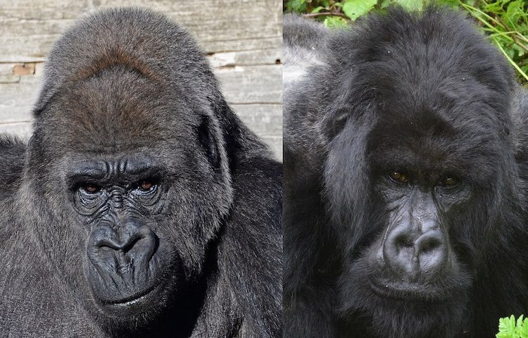 Photo: Western gorilla (Gorilla gorilla) and eastern gorilla (Gorilla beringei). Wikimedia Commons CC BY-SA 4.0
