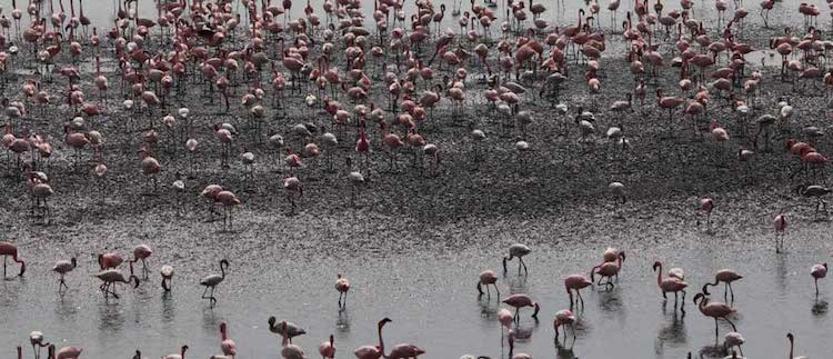 Photo: Flamingos at Talawe Wetlands in Navi Mumbai. Source: TERI.