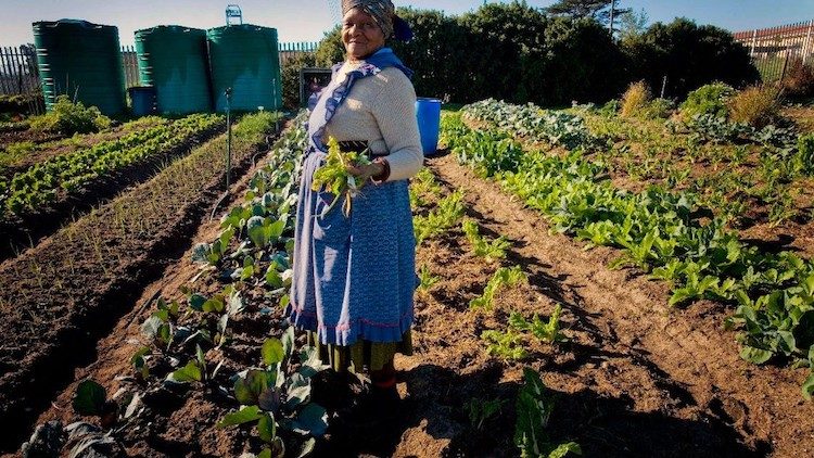 Photo: A South African woman working on one of South Africa's commercial farms. Credit: Australian Govt, Licensed under Creative Commons 2.0a